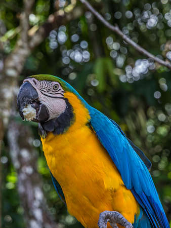 Portrait of blue-and-yellow macaw (Ara ararauna) with bread crumb in its mouth. This parrots inhabits forest, woodland and savannah of tropical South America.