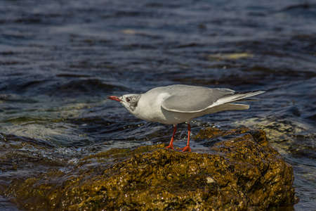 The black-headed gull (Chroicocephalus ridibundus) is a small gull that breeds in much of the Palearctic including Europe and also in coastal eastern Canada. Shot on the Black sea (Crimea)