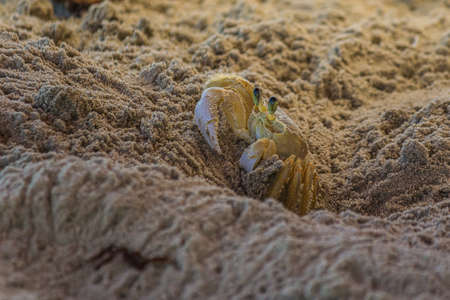 The Atlantic ghost crab (Ocypode quadrata) also known as sand or beach crab peeps carefully from its deep sandy hole. The Atlantic ghost crab lives in burrows in sand above the strandline