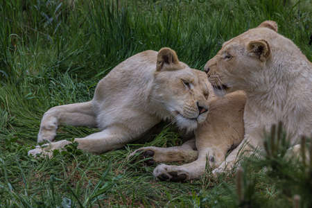 Two lionesses lie on the grass and caress each other. The lion (Panthera leo) is a species in the family Felidae. Typically, the lion inhabits grasslands and savannas, but is absent in dense forests