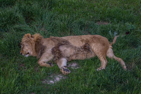 Big lion sleeping on grass lying on its side. The lion (Panthera leo) is a species in the family Felidae. Typically, the lion inhabits grasslands and savannas, but is absent in dense forests