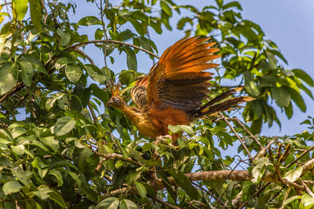The hoatzin (Opisthocomus hoazin), also known as the reptile or skunk bird, stinkbird, or Canje pheasant, is a species of tropical bird found in swamps, forests, and mangroves in South America Stock Photo