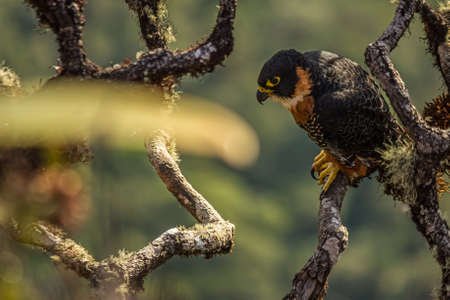 Tiny hawk (Accipiter superciliosus) on top of Roraima (Venezuela). Its a small diurnal bird of prey found in or near forests, primarily humid, throughout much of the Neotropics Stok Fotoğraf