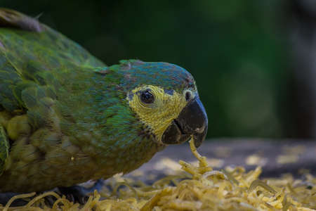 The blue-fronted or turquoise-fronted amazon (Amazona aestiva) sits and eat pasta. Its a mainly green parrot about 38 cm (15 in) long. It is found in forests, woodland, savanna and palm groves Stock Photo
