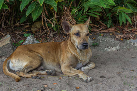 A pooch dog lies on the sand in a park under a bush in Georgetown, Guyana. The domestic dog (Canis familiaris or Canis lupus familiaris) is a member of the genus Canis. It is terrestrial carnivore