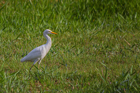 The western cattle egret (white egyptian heron, Bubulcus ibis) is a species of heron (family Ardeidae) found in the tropics, subtropics and warm temperate zones. It is a white bird with buff plumes