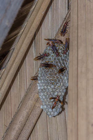 Large hornet's nest under the roof of the barn. In the cells of the nest, larvae of wasps sit. Hornets (insects in the genus Vespa) are the largest of the eusocial wasp Archivio Fotografico