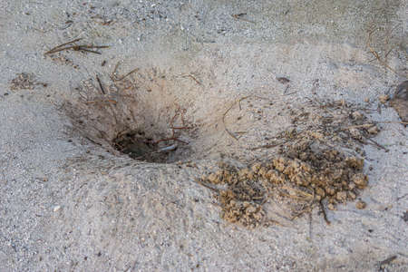 Land crab (Cardisoma carnifex) hid in its sand hole. It is a species of terrestrial crab found in coastal regions from Africa to Polynesia. They live in burrows