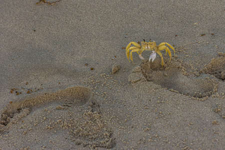 The Atlantic ghost crab (Ocypode quadrata) also known as sand or beach crab on the beach of Margarita Islands (Venezuela). The Atlantic ghost crab lives in burrows in sand above the strandline 版權商用圖片