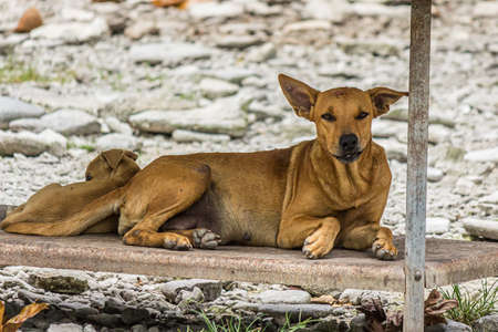 A brown outbred dog lies on the seashore in island Fanning Atoll, Kiribati. The domestic dog (Canis familiaris or Canis lupus familiaris) is a member of the genus Canis. It is terrestrial carnivore