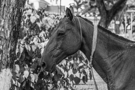 Portrait of a horse on the central street of Georgetown, the capital of Guyana, South America. The horse (Equus ferus caballus) is one of two extant subspecies of Equus ferus