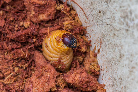 A large and thick orange larva emerged from the ground. A larva is a distinct juvenile form many animals undergo before metamorphosis into adults. Larvae are nutritious food for many animals