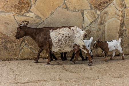 Goat walks with her little kids. The domestic goat or simply goat (Capra aegagrus hircus) is a member of the family Bovidae and the subfamily Caprinae, meaning it is closely related to the sheep