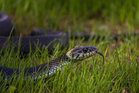 The grass snake (Natrix natrix), sometimes called the ringed snake or water snake, is a Eurasian non-venomous snake. It is often found near water and feeds almost exclusively on amphibians