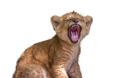 Little lion cub yawns in all its jaws. The lion (Panthera leo) is a species in the family Felidae. Typically, the lion inhabits grasslands and savannas, but is absent in dense forests