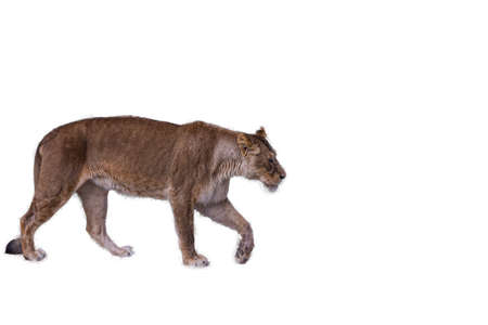 Isolated portrait of a large lioness walking to the right. The lion (Panthera leo) is a species in the family Felidae; it is a muscular, deep-chested cat with a short, rounded head