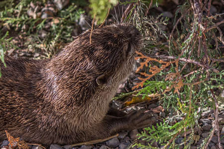 Funny little otter bites a branch of a bush. The Eurasian otter (Lutra lutra), also known as the European, Eurasian river, common, and Old World otter, is a semiaquatic mammal native to Eurasia