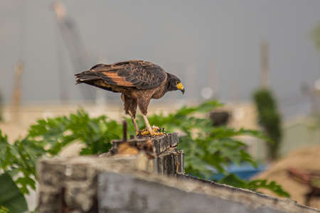 A small predatory hawk sits on an old wall and looks out for prey. The roadside hawk (Rupornis magnirostris) is a small bird of prey found in the Americas. Dwells in forests, savanna and shrubland.