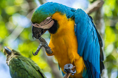A macao parrot sits on a branch and cleans its beak with its paw. The Ara ararauna (blue-and-yellow or blue-and-gold macaw) lives in the forest, woodland and savannah of tropical South America.