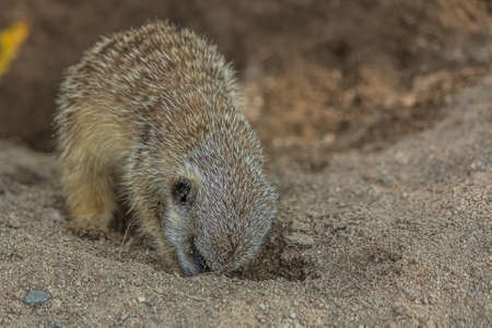 The meerkat digs a hole in the sand. The meerkat (Suricata suricatta) is a small mongoose that lives in the savanna, shrubland, grassland and desert in Botswana, Namibia, Angola and in South Africa.