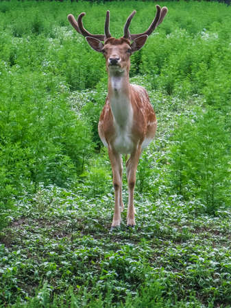 A sika deer with large antlers stands on the grass. Cervus nippon (spotted or the Japanese deer) lives in forest, shrubland and grassland in the East Asia.