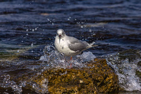 A seagull stands on a rock near the surf with water splashes The black-headed gull (Chroicocephalus ridibundus) lives in grassland, wetland and marine coastal in Europe and east coast of America.