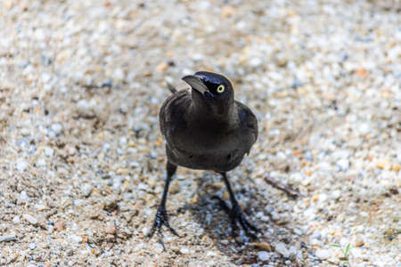 The male Carib grackle stands on a sandy beach. Quiscalus lugubris lives in the forest and coastal regions of Caribbean, Trinidad and mainland South America. 版權商用圖片