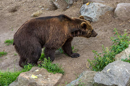 A large brown bear walks on rocky ground with grass. The Eurasian brown bear (Ursus arctos) is the largest predator. It lives in forest, shrubland, grassland and wetlands.