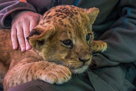 Woman stroking a little lion cub that lies on her lap. The lion (Panthera leo) lives in grasslands, savannas and dense forests. It's a vulnerable species.