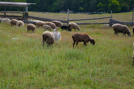 herdsman: sheep and goats graze in the field and on the road