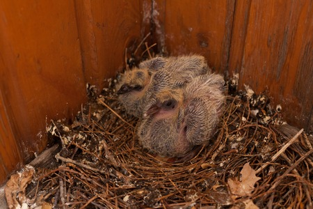 a nest of baby birds Dove Wild Bird House Stockfoto