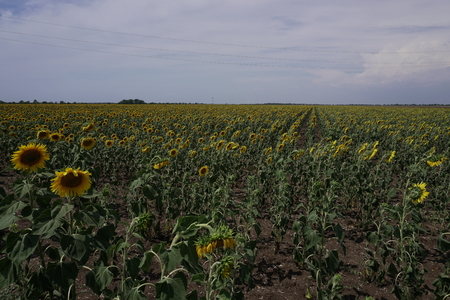 green field of sunflowers on a farm to harvest