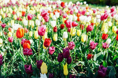 multicolored tulips in a flowering garden in spring