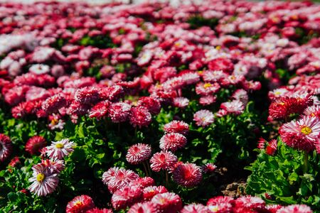 multicolored asters in a flowering garden in spring