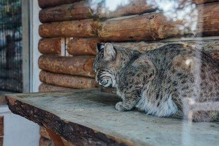 Wild cat lynx sleeps in captivity in zoo cage