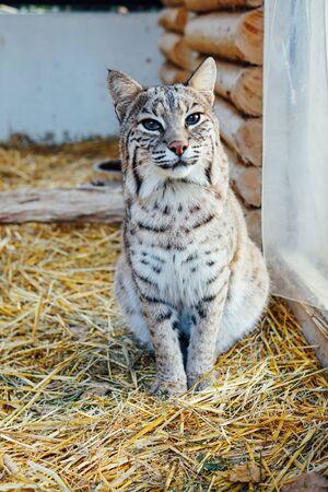 Wild cat lynx in captive zoo summer Stock Photo