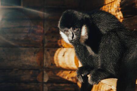 Wild monkey alone in animal zoo nature