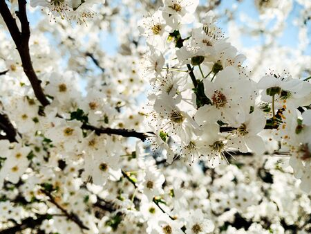 flowering white trees spring as background flowers
