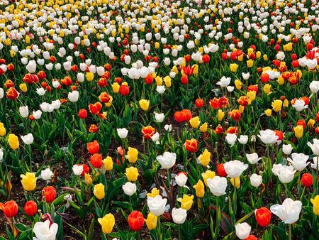 field of Dutch tulips of different spring flowers