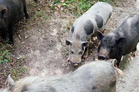 three wild boar pig pigs in the woods