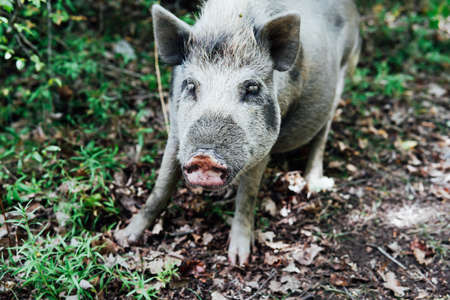 young wild boar pig in nature in the woods Stock Photo