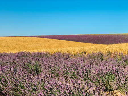 landscape field of lavender and yellow wheat before the harvest