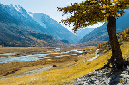 Autumn landscape with yellow larch, against the background of mountains and rivers with stones, Akkol, Altai.