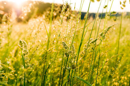 Summer green meadow with juicy green and yellow grass with the rising sun, spikelets.