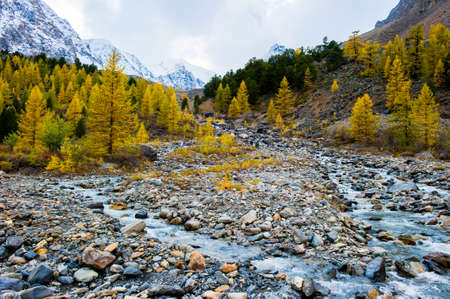 A mountain river flows through the forest. Beautiful natural landscape in autumn. Larch trees on the Bank and large stones. Against the background of the Altai mountains covered with snow.