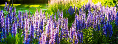 Close-up of purple decorative flowers of sage field. Banner, panorama.
