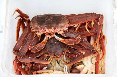 freshly caught Kamchatka strigun crabs lie in a white bucket.