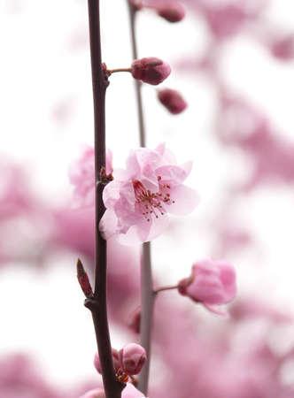 Blooming sacura in Redmond photo