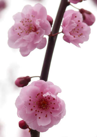 plum blossom: Blooming sacura in Redmond Stock Photo