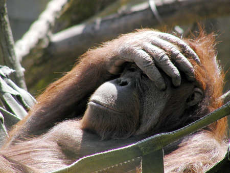 Thoughtful orangutan in hammock Stock Photo - 2933899